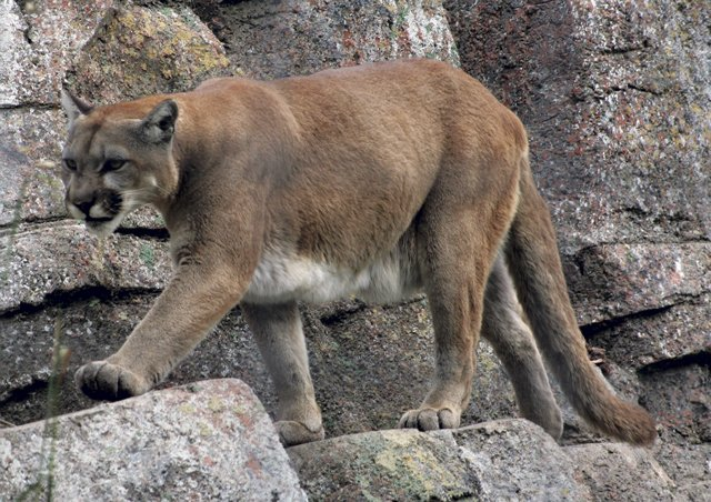 Mountain_Lion.jpg