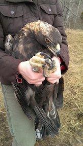Bernheim Eagle Small