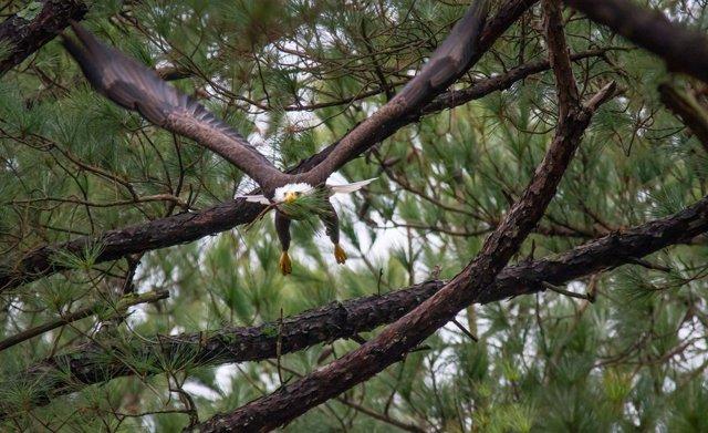 eagle-carrying-nest-lining-gilbertsville-kentucky.jpg