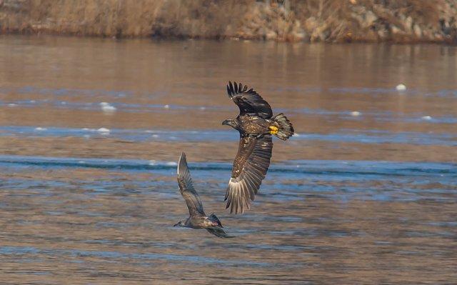 eagle-chasing-gull-below-kentucky-dam.jpg