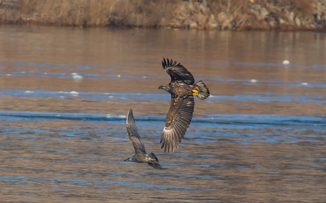 eagle-chasing-gull-below-kentucky-dam.jpg