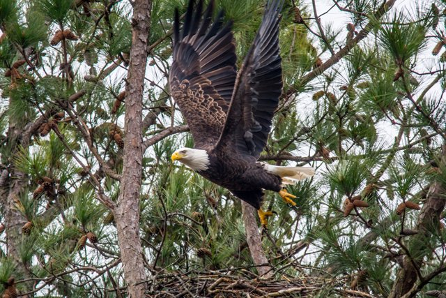 eagle-in-flight-marshall-county-kentucky.jpg