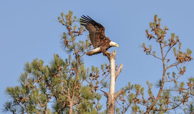 eagle-on-top-of-tree-near-kentucky-dam.jpg