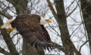 eagle-profile-flying-over-kentucky-dam.jpg