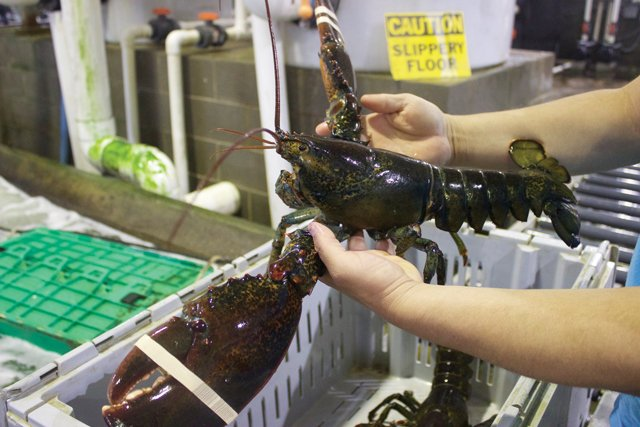 An-extra-large-lobster-at-Clearwater-2.jpg