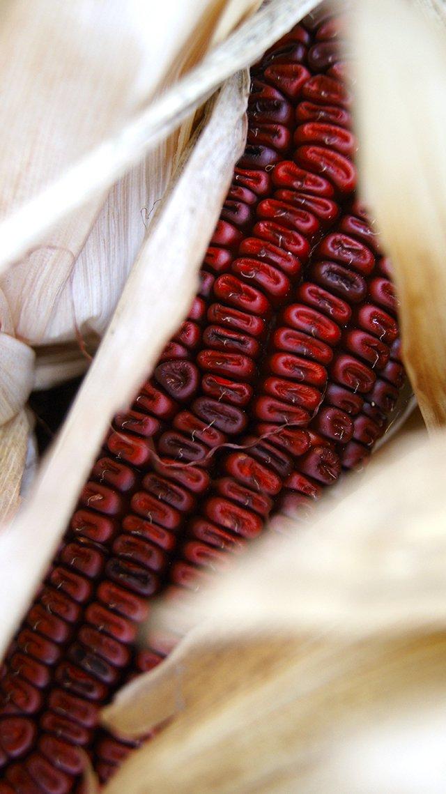 Corn 2.jpg