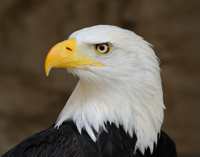 Bald_Eagle_PortraitSmaller.jpg