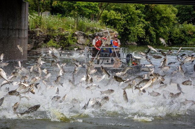 Silver carp jumping in Fox river