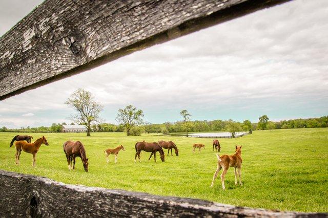 Horses in fieldShelbyKY Tourism.jpg