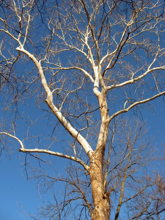 Kentucky sycamore