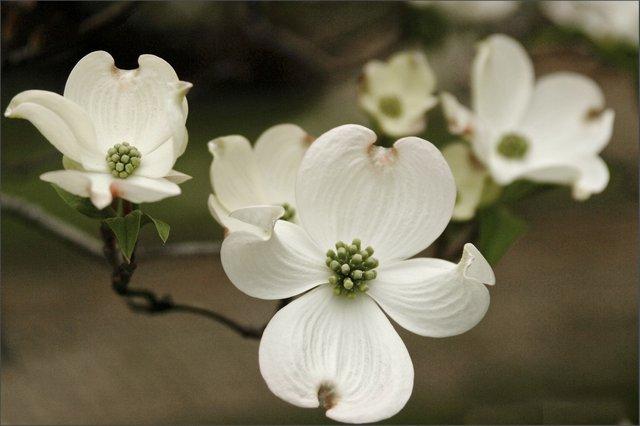 3 white dogwoods 1.jpg