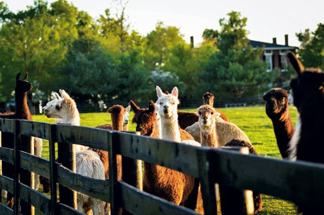 Maple Hill Manor Alpacas